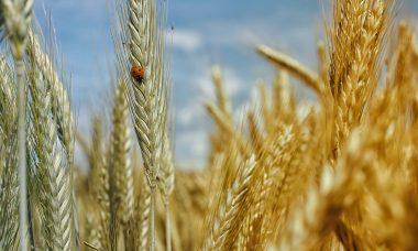 cornfield-195642_1280.jpg