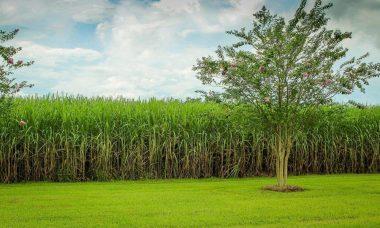sugarcane-439880_1280-e1608627025396.jpg